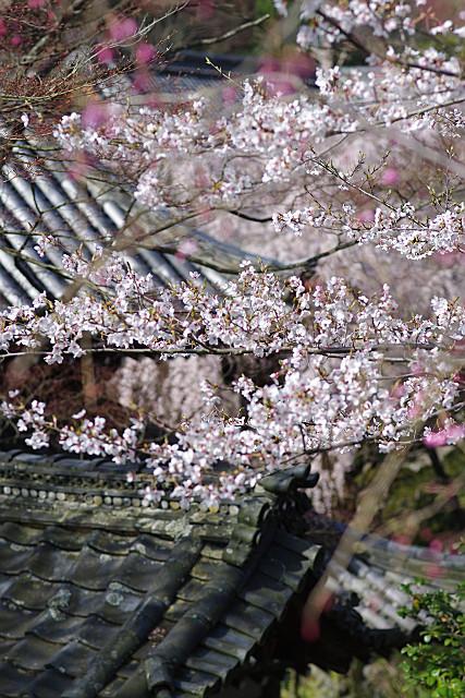 花と葉っぱの山桜