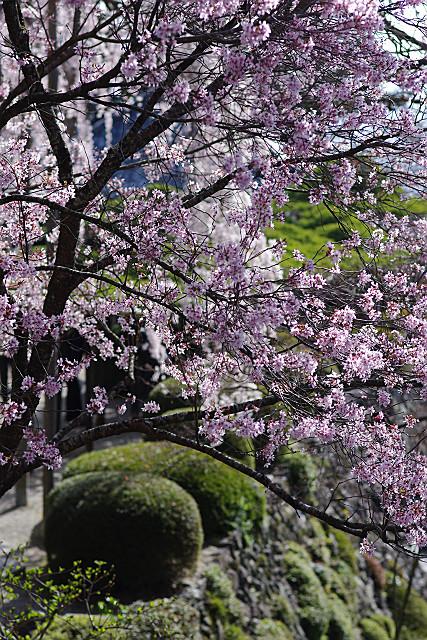 紅枝垂れ桜も