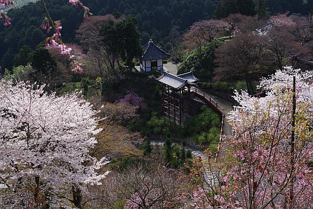 斜面を埋める桜たち
