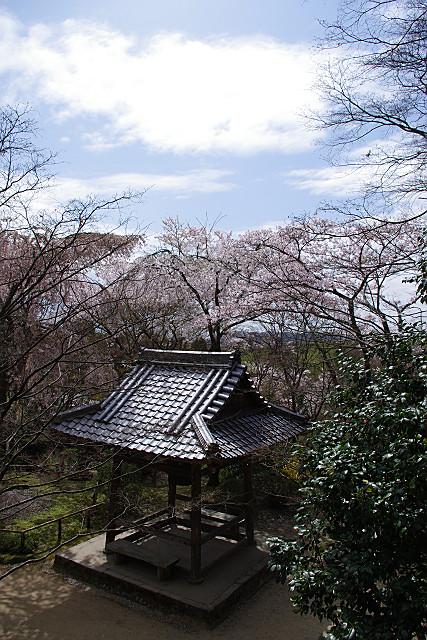 鐘楼の脇に西行桜