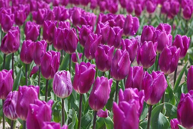 紫 パープル