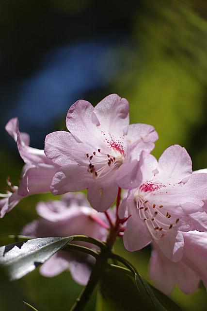 青空と石楠花