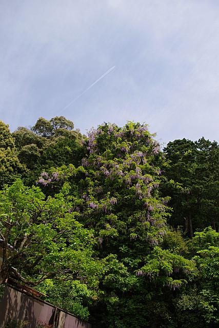 野藤と飛行機雲