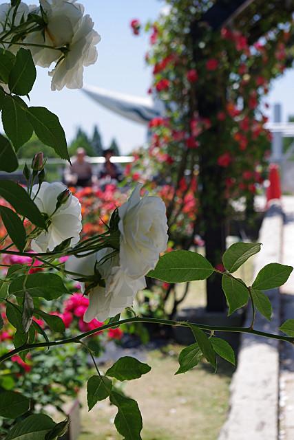 白バラのアーチ