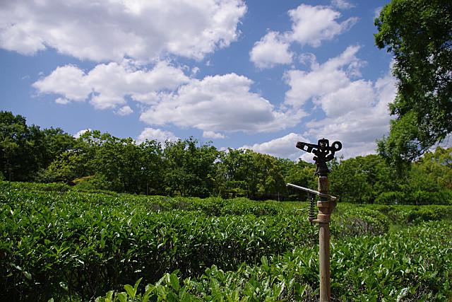 茶畑もあります