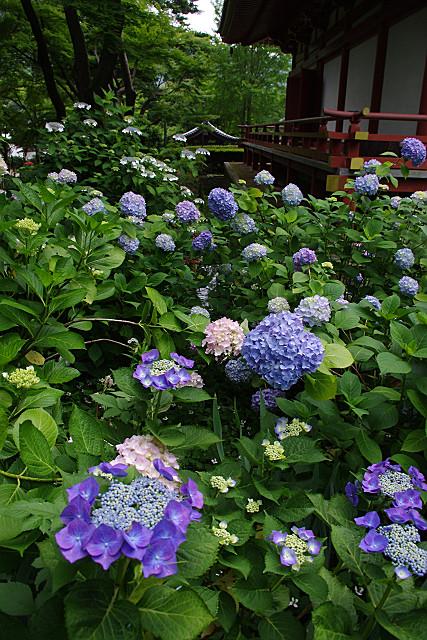紫陽花に囲まれて