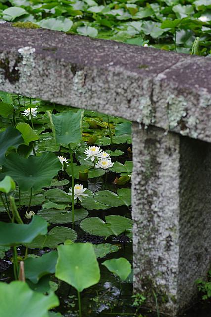 石橋と睡蓮