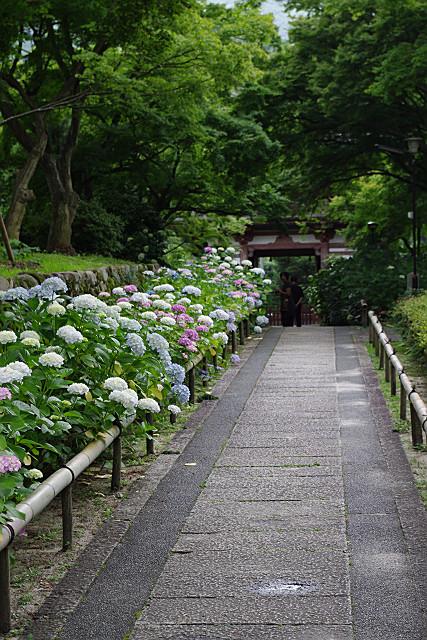 参道沿いの紫陽花
