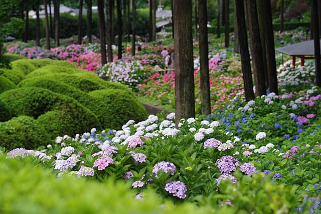 紫陽花園は色とりどり