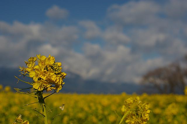 雲が湧く ように次々 花開く