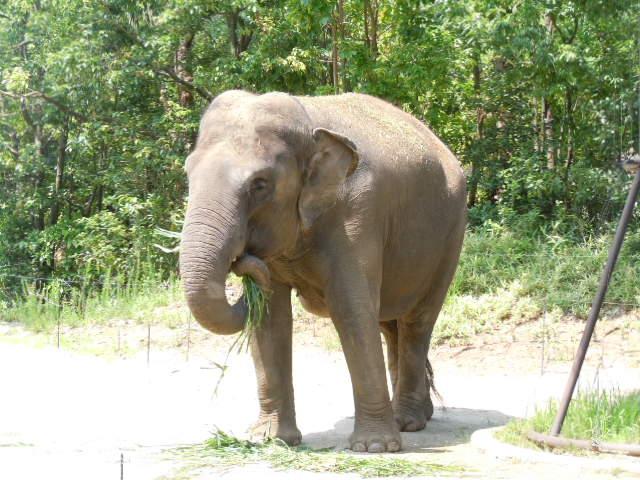 ゾウさん食べる。
