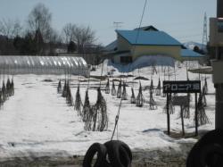 アロニア畑には、まだ雪が・・・