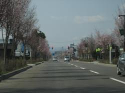 ピンクの道です(*^_^*)