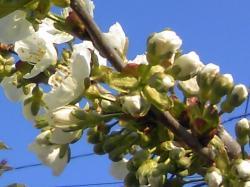 2009年5月5日のさくらんぼの木