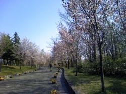 桜がきれいに咲いています(*^_^*)