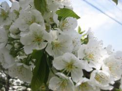 2009年5月8日のさくらんぼの木