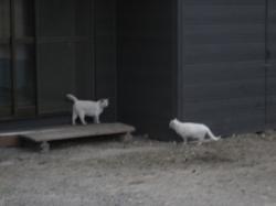 ちょび?よく似た白猫が3匹(^^ゞ