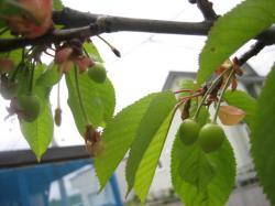 種が落ちて芽が出た木も実がつきました♪