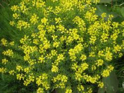 堤防に咲いた黄色い花