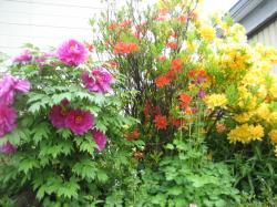 お向かいの家の庭も花盛り♪