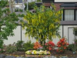 黄色い花がたくさんぶら下がっている・・・これ何ていう木?