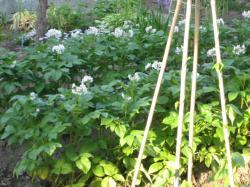 ジャガイモの花が咲き始めました(*^_^*)
