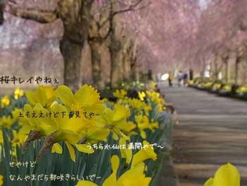 20110414-夜久野しだれ桜3