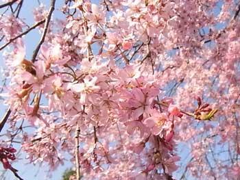 20110414-夜久野しだれ桜2