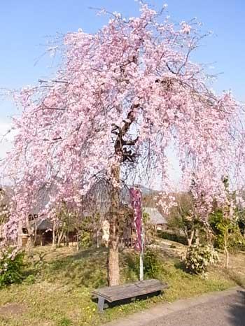 20110414-夜久野しだれ桜1