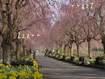 20110414-夜久野しだれ桜4