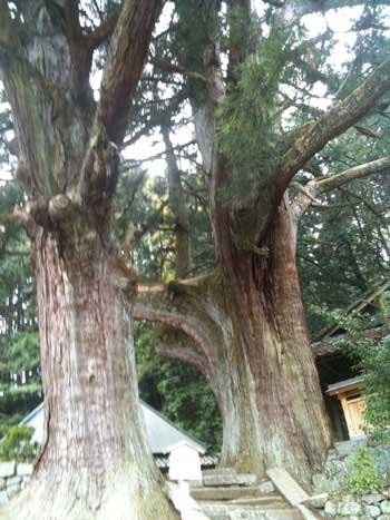 20110418-婆羅門杉2