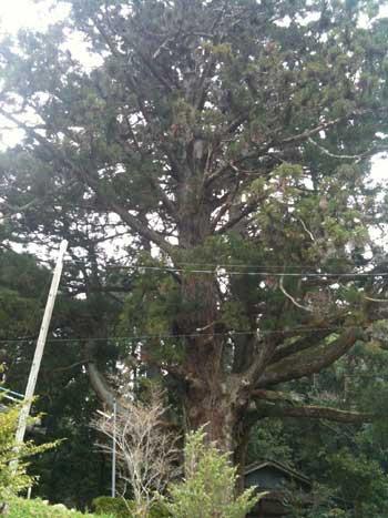 20110418-婆羅門杉1.jpg