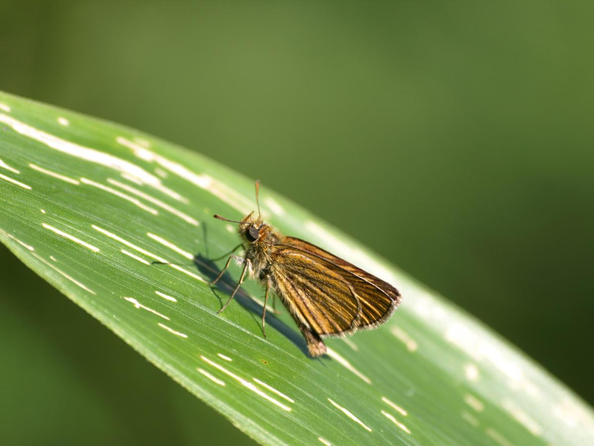 ヘリグロチャバネセセリ