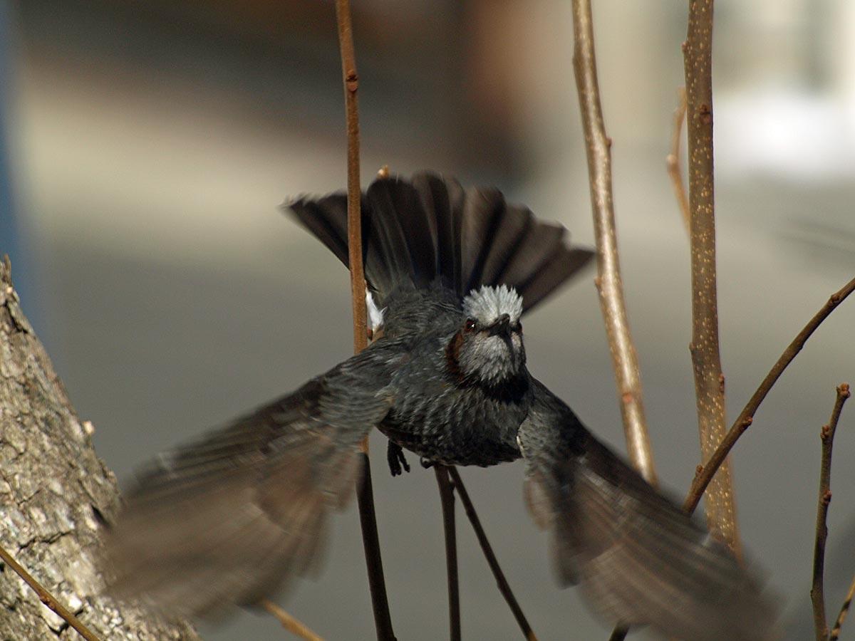 ヒヨドリ飛ぶ