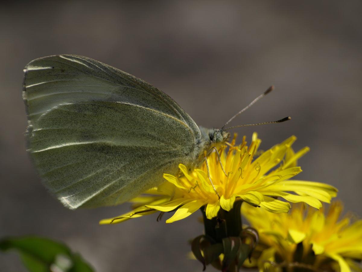 春のモンシロチョウ