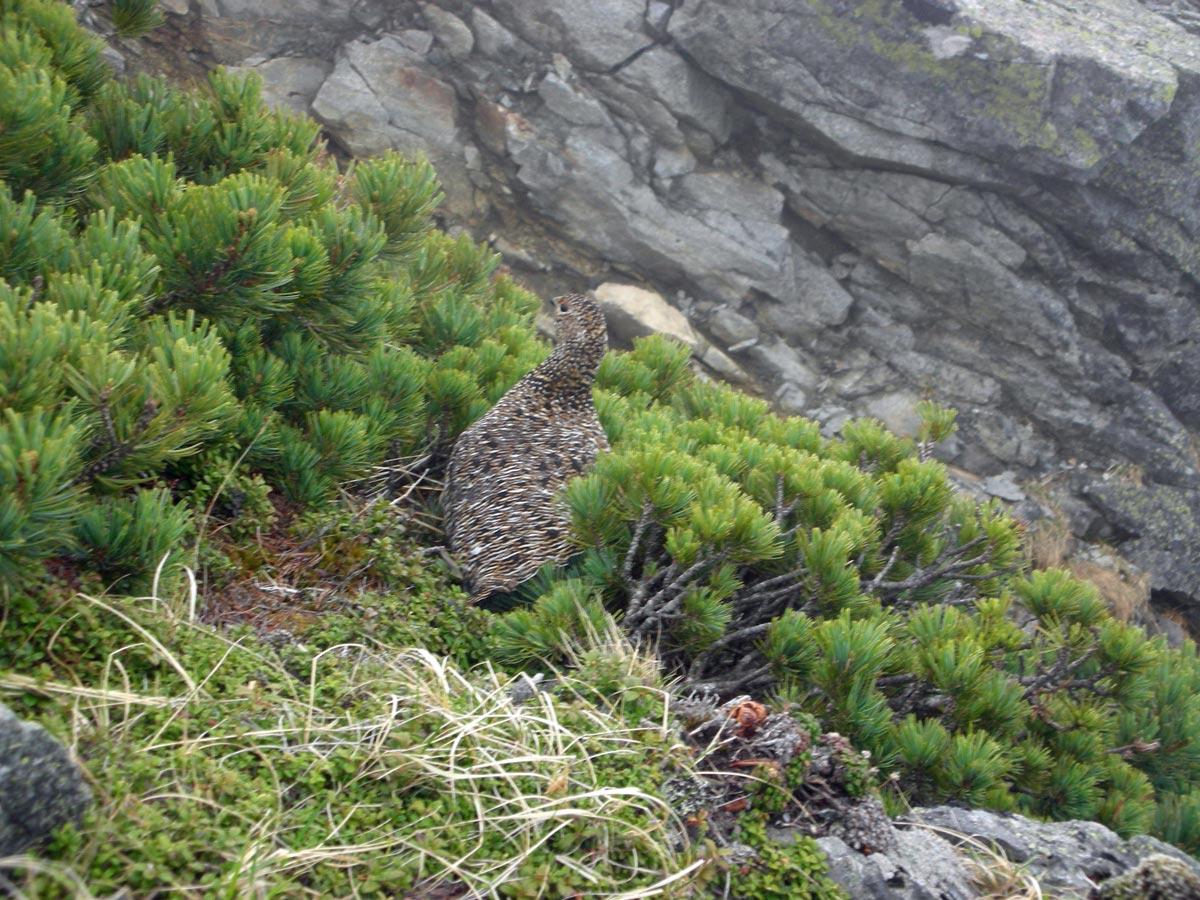 立山のライチョウ