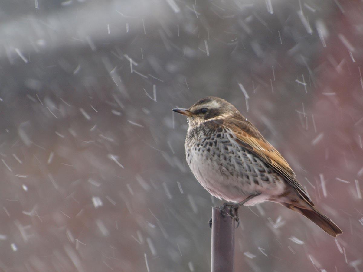 吹雪のツグミ