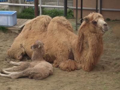 ラクダの親子