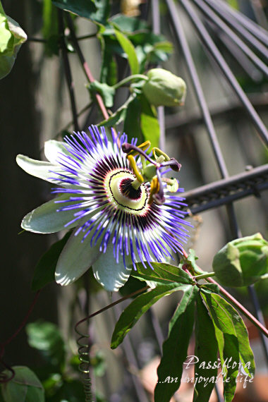 Passiflora01.jpg