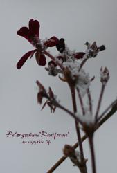 Pelargonium_reniforme01.jpg