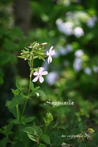 Saponaria01.jpg