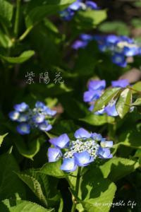 ajisai04.jpg