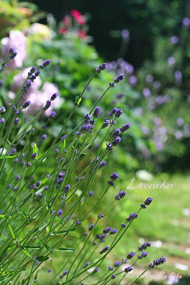 lavender04.jpg