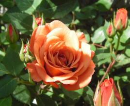 rose081.jpg