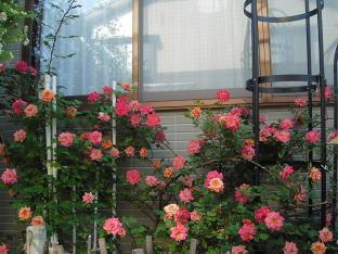 rose082.jpg