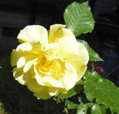 rose084.jpg