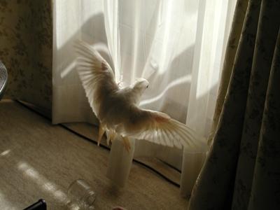 透けて見えるフブの翼
