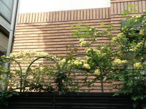 090418モッコウバラ