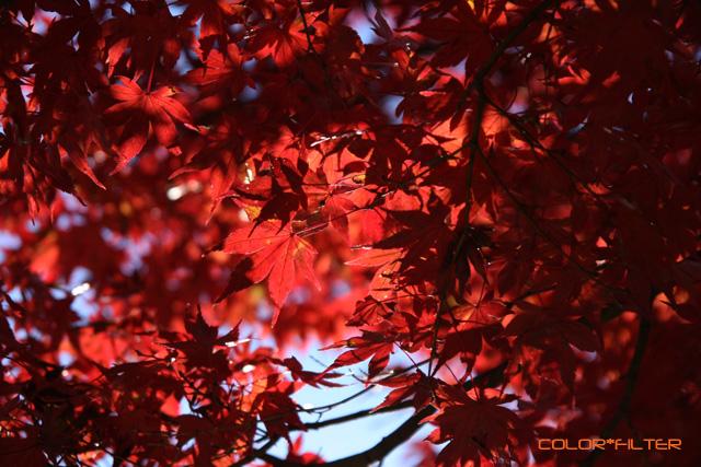 紅葉 -Red Leaf- 01