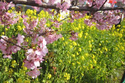 ことしこそ、ちょうど見ごろを迎えた、早咲きの桜、河津桜と、おいしいものを喰らいに、河津へと、行って来ました。